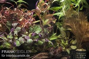 Welchen Dünger Für Aquarienpflanzen : aquarienpflanzen sortiment rot f r 100 120 cm aquarium ~ Michelbontemps.com Haus und Dekorationen