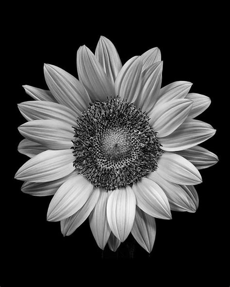 sunflower pictures black and white | pinned by cecilia