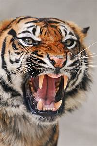 Angry Tiger Pictures, Photos, and Images for Facebook ...