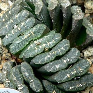 (moys)Haworthia truncata 6-8cm กุหลาบหินนำเข้า ไม้อวบน้ำ ...