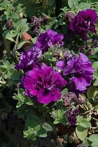 Double Wave Blue Velvet Petunia (Petunia 'Double Wave Blue ...