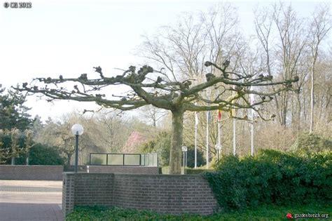 platane en parasol arboretum de bokrijk les galeries photo de plantes de gardenbreizh