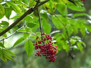 Sträucher Mit Weißen Beeren : bild 2 aus beitrag endlich roter holunder sambucus racemosa ~ Whattoseeinmadrid.com Haus und Dekorationen