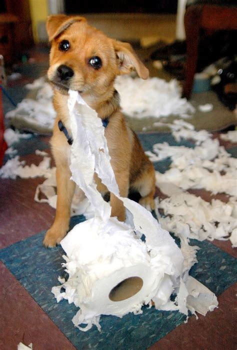 Image result for images of dog tearing up toilet paper