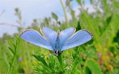 tiny palos verdes blue butterfly struggling  san pedro