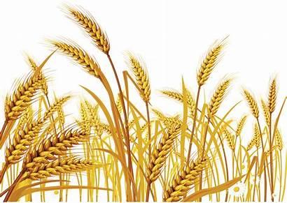 Wheat Nature Jooinn Dry