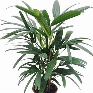 Robuste Zimmerpflanzen Groß : palmen gr ne exotik im haus gartenratgeber ~ Sanjose-hotels-ca.com Haus und Dekorationen