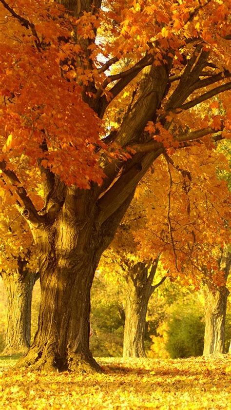 Autumn Season Wallpapers For Phone by Golden Autumn Tree Smart Phone Wallpaper Background