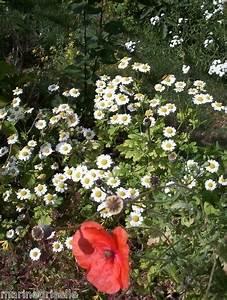 Graines Fleurs Des Champs : camomille des champs ou matricaire 30 graines approximatif propos es ~ Melissatoandfro.com Idées de Décoration