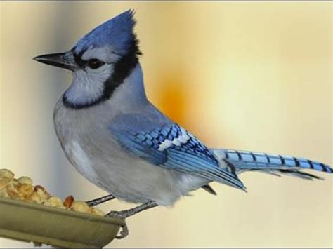 Backyard Birding by How To Feed Backyard Birds La Jolla Ca Patch