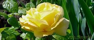 Geranien Gelbe Blätter : hilfreiche tipps f r rosen und co mein pflanzenblog ~ Orissabook.com Haus und Dekorationen