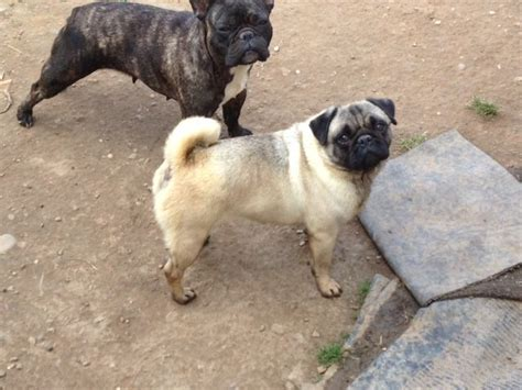 Female Pug Very Loving Silver Fawn Colour