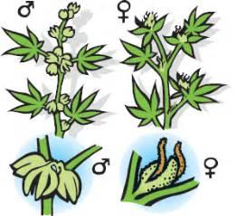 Sanddorn Männlich Weiblich Unterschied : weiblich hanfsamen cannabis marijuana ~ Lizthompson.info Haus und Dekorationen