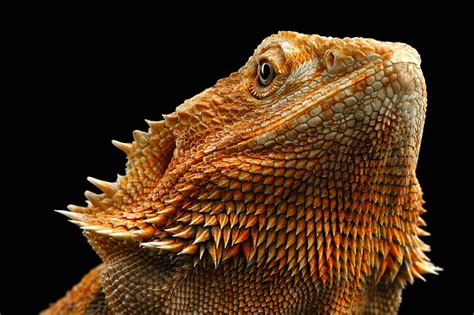 If you're looking for the best bearded dragon wallpaper then wallpapertag is the place to be. 28++ Bearded Dragon Iphone Wallpaper - Bizt Wallpaper