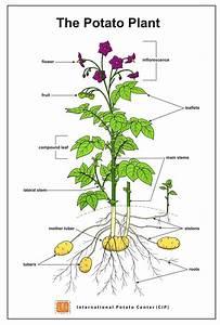 How Potato Grows
