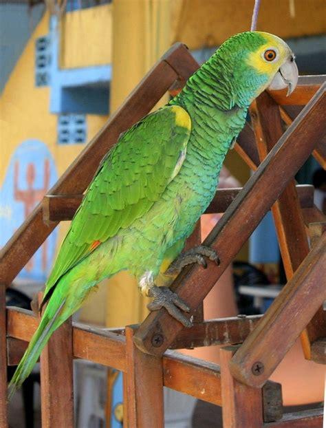 yellow shouldered amazon wikipedia