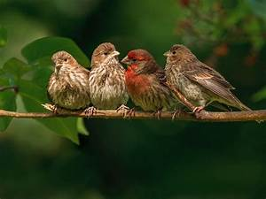 Finches, Are, Small, And, Medium, Sized, Passerine, Birds, In, The