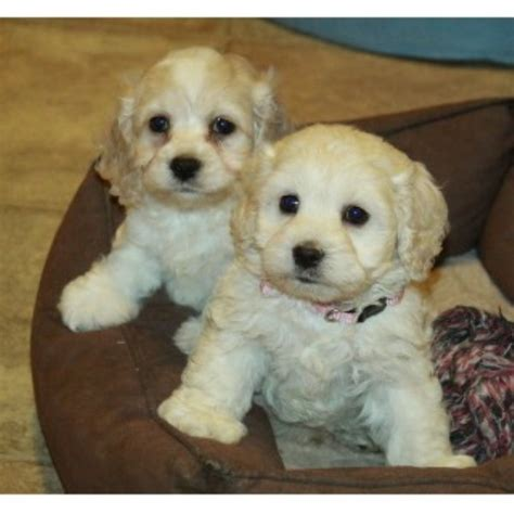 cockapoo puppies   aldershot hampshire