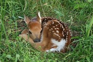 Fawn - white-tailed deer | Flickr - Photo Sharing!