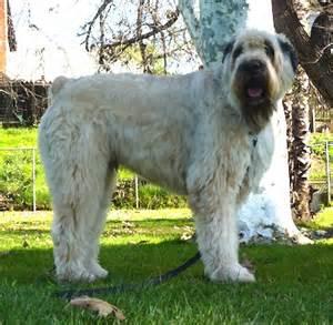 Bouvier Des Flandres Dog