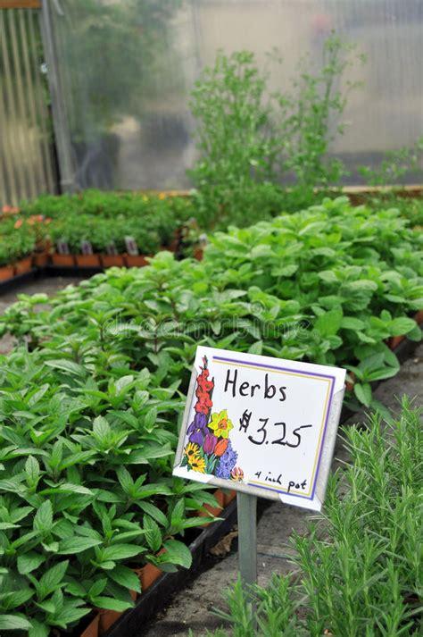 Growing Herbs Inside by Herbs Growing Inside Greenhouse Nursery Royalty Free Stock