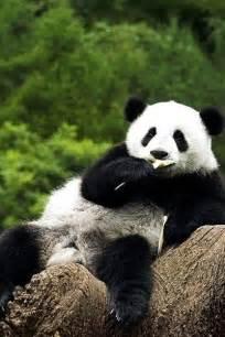 Cute Panda Animal