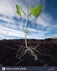 Baby Bean Plant And Root System Stock Photo  24036989