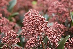 Immergrüne Pflanzen Winterhart Kübel : immergr ne pflanzen f r den balkon f nf robuste arten ~ Lizthompson.info Haus und Dekorationen