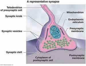 Representative Synapse