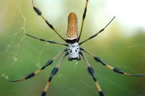 Golden Orb Weaver Spider Poisonous