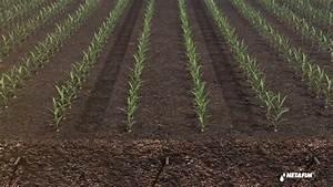 Subsurface drip irrigation for corn by Netafim | Doovi