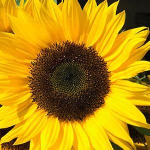 Sonnenblume Im Topf : sonnenblumen k bel topf pflege standort aussaat d ngen balkon ~ Orissabook.com Haus und Dekorationen