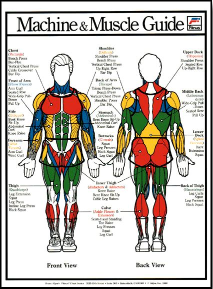 Human body anatomy chart for use in the classroom. Muscle Poster - Male - Clinical Charts and Supplies