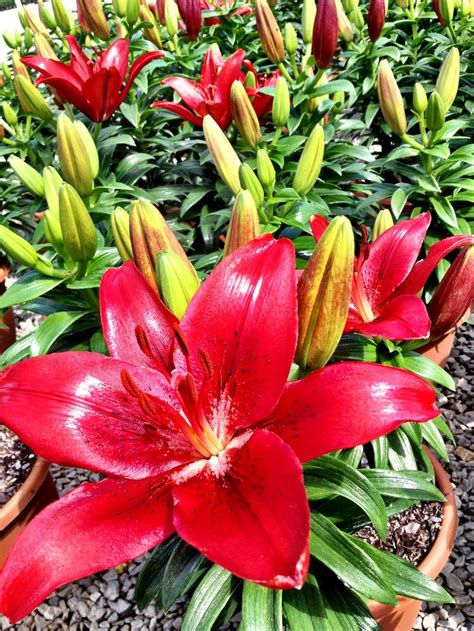 78 Best Images About Asiatic Lilies On Pinterest Gardens