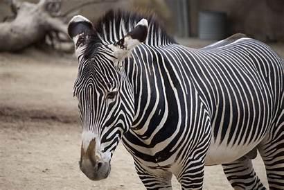 Zebra Animal Facts Animals Zebras Plains Zoo