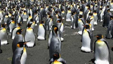 Polārpētnieki burtiskā nozīmē zaudē prātu pingvīnu ...