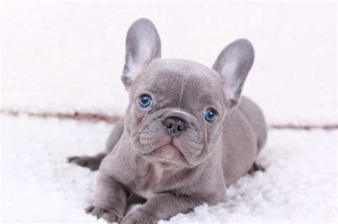View Ad French Bulldog Puppy For Sale Washington
