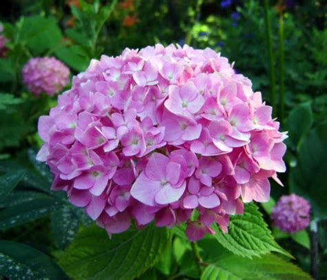 what is a hydrangea flower hydrangea flowers