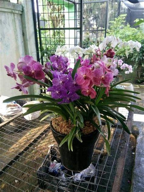 jual murah anggrek vanda thailand bunga bibit kembang