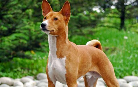 basenji shedding puppy coat basenji traits breeds picture