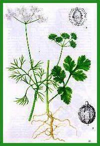 Herbe à Curry Toxique : sorcieres et sorcellerie ~ Melissatoandfro.com Idées de Décoration
