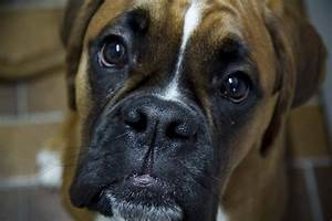 6 Problems Only Boxer Owners Will Understand