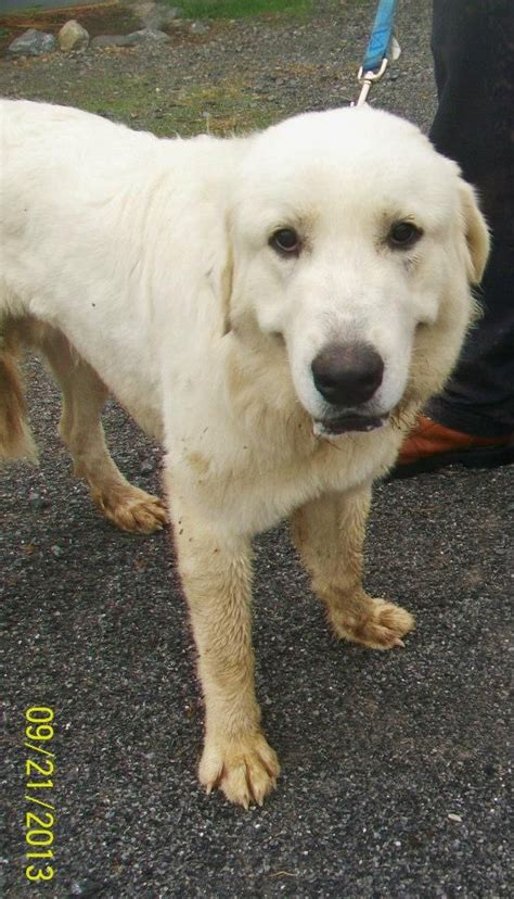 Great Pyrenees Shedding In Fall by New Bosley Is A Year Great Pyrenees Who