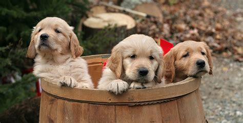 Adorably Cute Golden Retriever  Ee  Puppy Ee   P Os