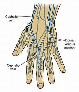 Cephalic Vein Blood Draw