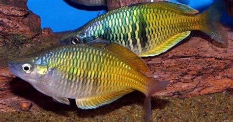 Makanan Ikan Hias Rainbow ikan rainbow akuarium ikan hias