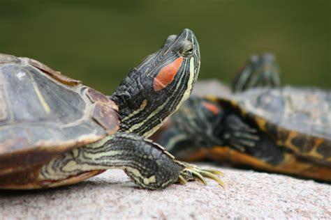 images gratuites etang faune tortue reptile griffe