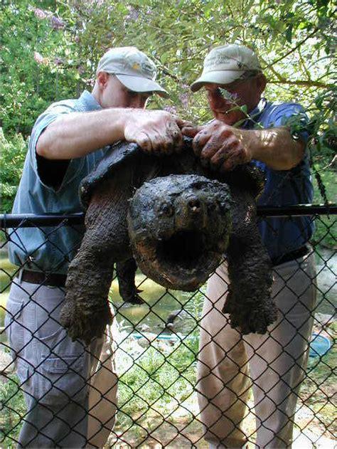 aligator cuisine alligator snapping turtle