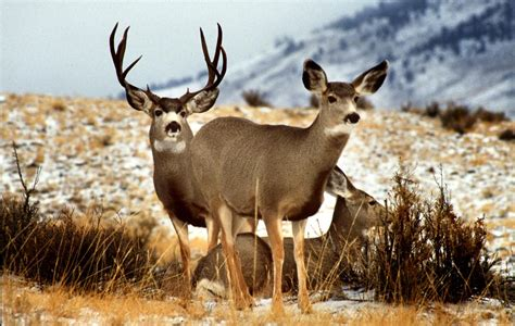 what a difference a year makes badgers bucks nba draft success research pegs decline of mule deer in west the spokesman