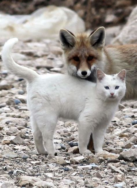 is a fox a or cat 15 stunning animal pictures showing friendship and